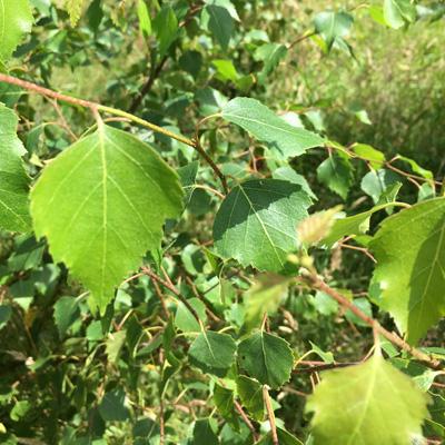 IndiWoods Tree Shop - Common Birch (Betula Pubescens)