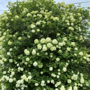 Guelder Rose available from the IndiWoods Tree Shop