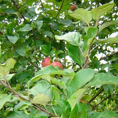 IndiWoods Tree Shop - Crab Apple (malus sylvestris)