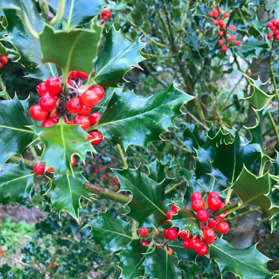 IndiWoods Tree Shop - Holly (Ilex Aquifolium)