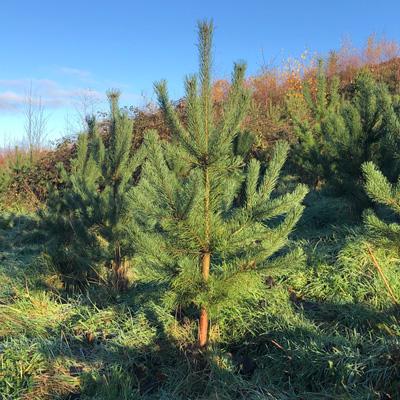 IndiWoods Tree Shop - Scots Pine (Pinus Sylvestris)