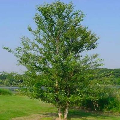 IndiWoods Tree Shop - Silver Birch (Betula Pendula)