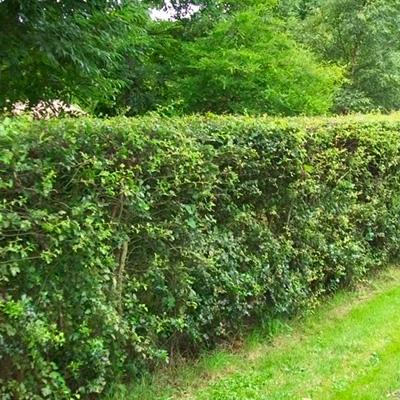 IndiWoods Tree Shop - Whitethorn (Crataegus Monogyna)