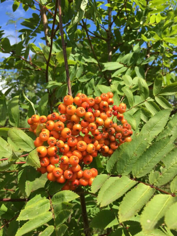 Rowan (Sorbus Aucuparia) - a small deciduous tree - A bountiful display of red berries in the autumn perfect for wildlife - buy from IndiWoods