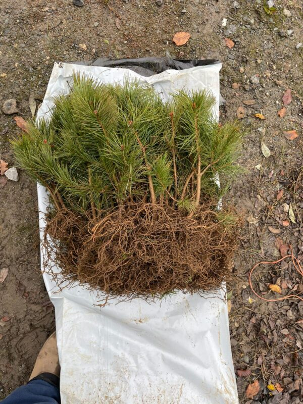 Scots Pine (Pinus Sylvestris), the only truly native pine to the UK, are supplied bare-rooted by IndiWoods in bundles of 50