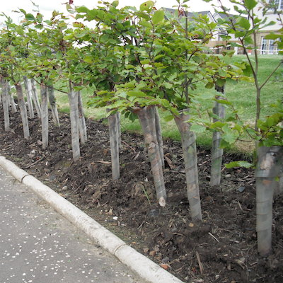 IndiWoods Tree Shop - Spiral Tree Guards 60cm - supplied with 90cm cane