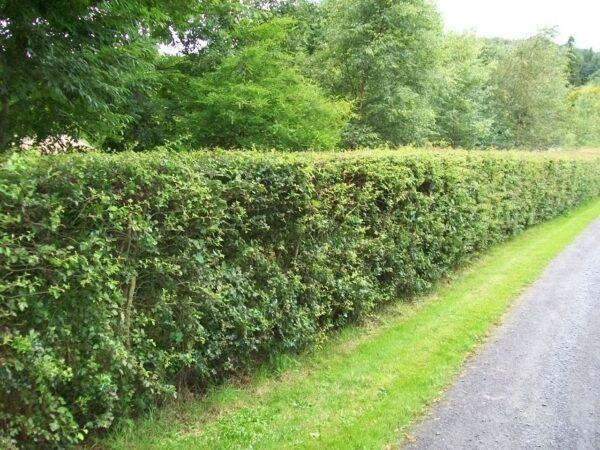 Whitethorn Hedge