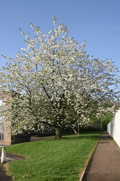 Wild Cherry tree available from IndiWoods